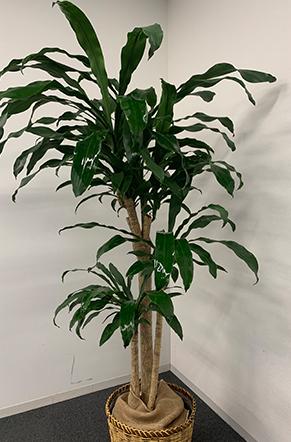 マッサンゲアナ(幸福の木)
