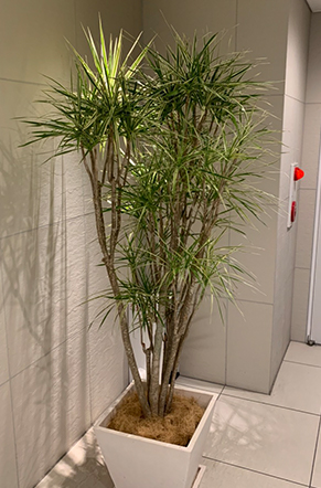 ドラセナ・コンシンネ(真実の木)
